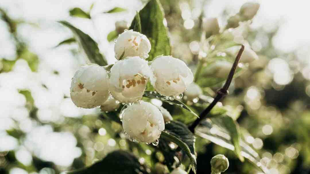 Comment planter du jasmin